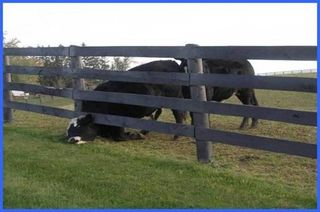 Cow-with-head-stuck-under-fence1