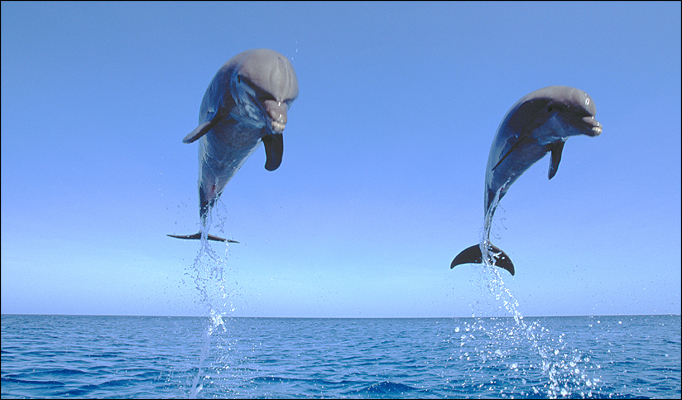 Dolphins Leaping in Joy